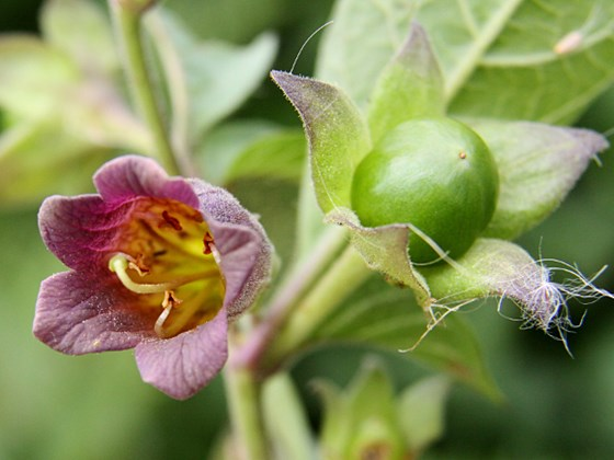 deadly-nightshade-flower-and-bud-don_macauley-wikimedia