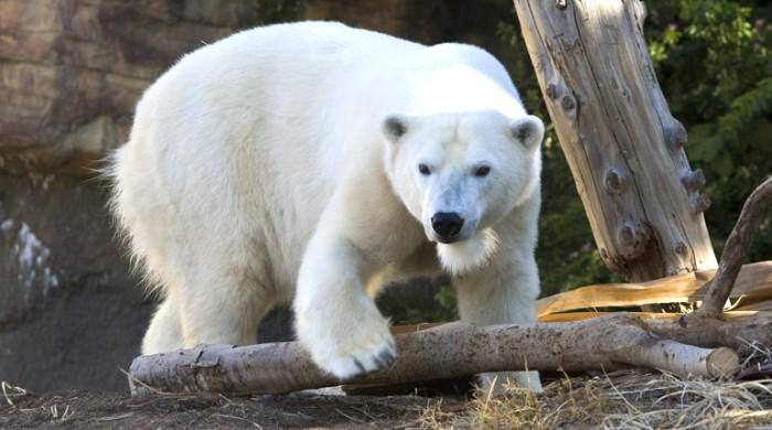 polr_bear_2