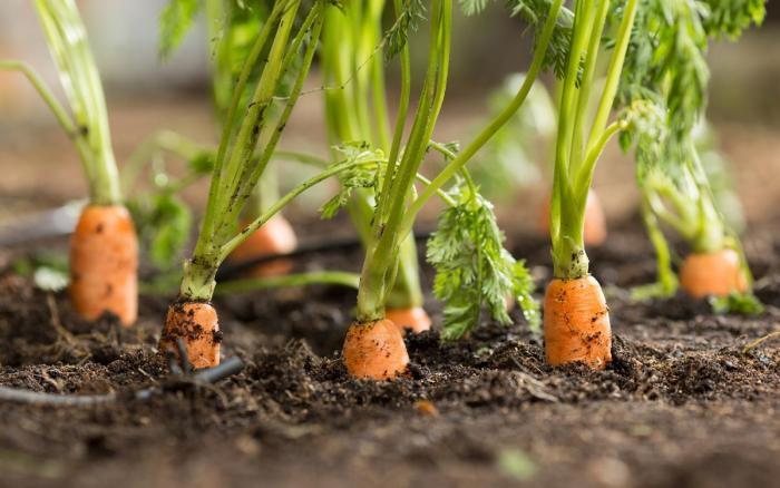 1200-carrots-growing.jpg