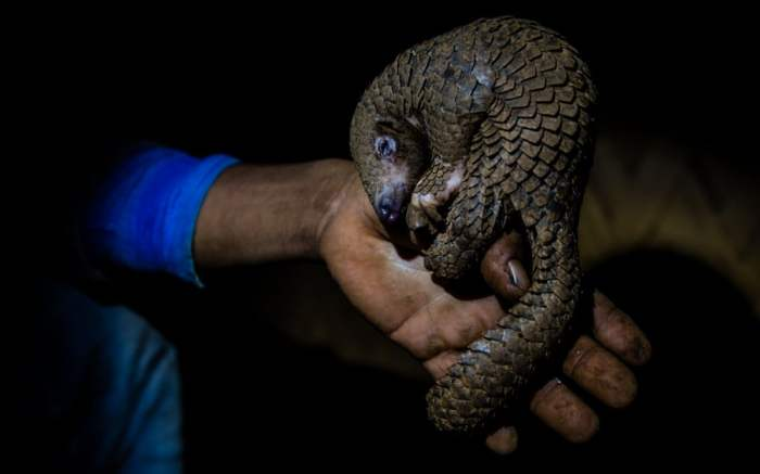 Pangolin in northern India – KRISHNA KUMAR SINGH